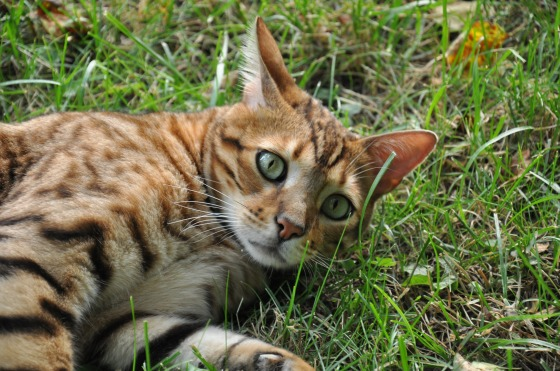 Bengal in Grass