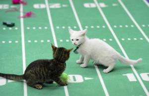 Kitten Bowl Face Off