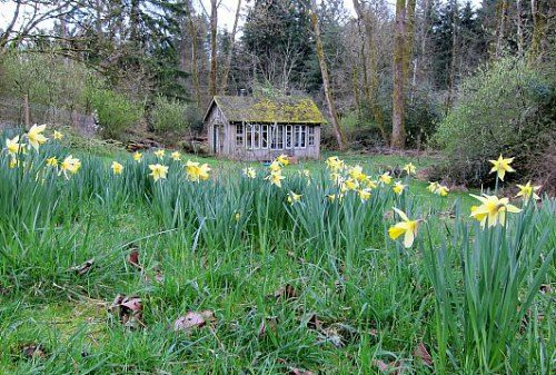 Dividing Daffodil Bulbs