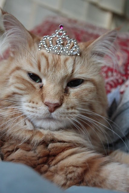 Princess Orange Tabby