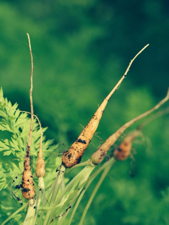 Carrots | Faith, Hope, Love, and Luck Survive Despite a Whiskered Accomplice