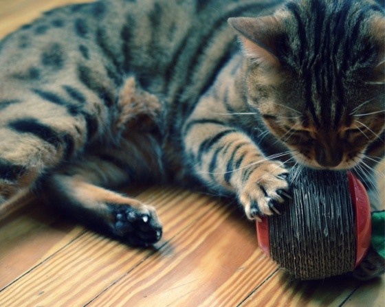 Best Kitty Toy EVER! | Faith, Hope, Love, and Luck Survive Despite a Whiskered Accomplice